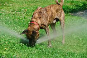 dog drinking water from sprinkler dr sprinkler utah county